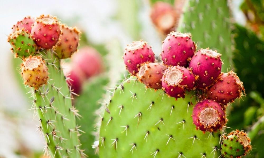 aceite-de-cactus